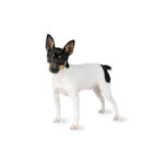 Petland Dalton Toy Fox Terrier
