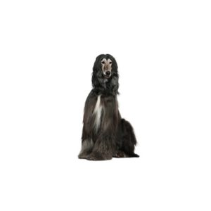afghan-hound Puppies