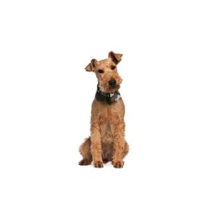 airedale-terrier puppies