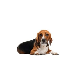 american-foxhound puppies for sale
