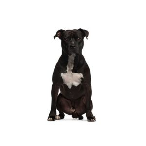 american straffordshire terrier puppies for sale