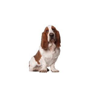 basset-hound Puppies for sale - Petland Dalton Pet Store Georgia