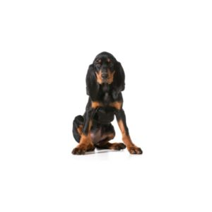 black-and-tan-coonhound Puppies for sale - Petland Dalton Pet Store Georgia