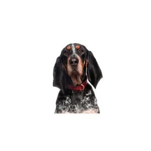 bluetick-coonhound Puppies for sale - Petland Dalton Pet Store Georgia