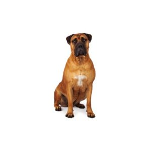 bullmastiff Puppies for sale - Petland Dalton Pet Store Georgia