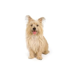 cairn-terrier Puppies for sale - Petland Dalton Pet Store Georgia