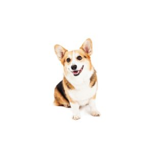 cardigan-welsh-corgi Puppies for sale - Petland Dalton Pet Store Georgia