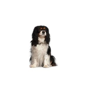 cavalier-king-charles-spaniel Puppies for sale - Petland Dalton Pet Store Georgia