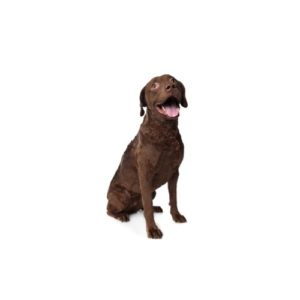 chesapeake-bay-retriever Puppies for sale - Petland Dalton Pet Store Georgia