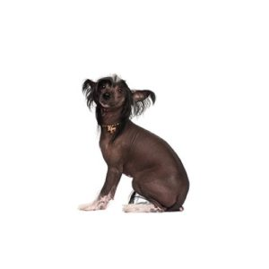 chinese-crested Puppies for sale - Petland Dalton Pet Store Georgia