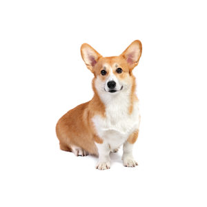 corgi Puppies for sale - Petland Dalton Pet Store Georgia