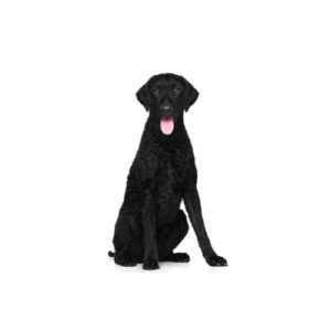 curly-coated-retriever Puppies for sale - Petland Dalton Pet Store Georgia