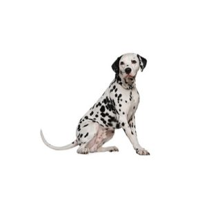 dalmatian Puppies for sale - Petland Dalton Pet Store Georgia
