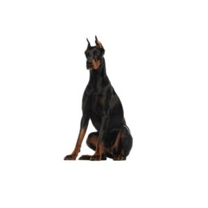 doberman-pinscher Puppies for sale - Petland Dalton Pet Store Georgia