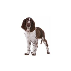 english-springer-spaniel Puppies for sale - Petland Dalton Pet Store Georgia