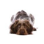 Petland Dalton German Wirehaired Pointer