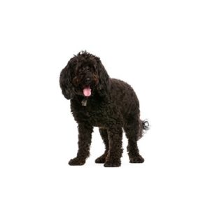 labradoodle Puppies for sale - Petland Dalton Pet Store Georgia