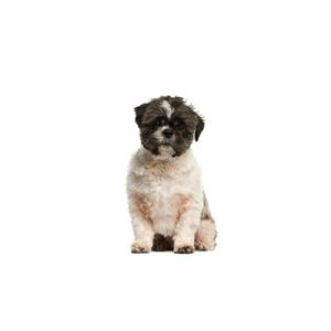 malti-shih Puppies for sale - Petland Dalton Pet Store Georgia