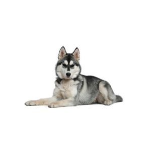 siberian-husky Puppies for sale - Petland Dalton Pet Store Georgia