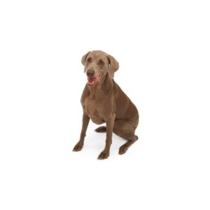 weimaraner Puppies for sale - Petland Dalton Pet Store Georgia