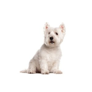 west-highland-terrier Puppies for sale - Petland Dalton Pet Store Georgia