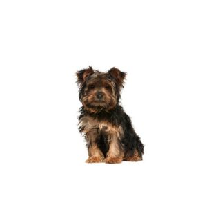 yorkie-chon Puppies for sale - Petland Dalton Pet Store Georgia