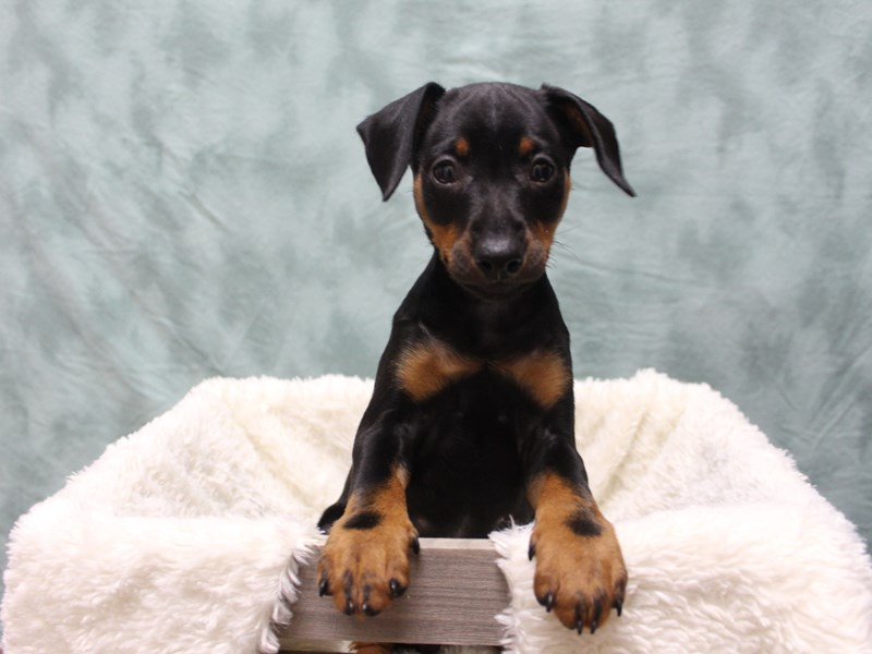 Miniature Pinscher-Female-Black Tan-2530547-Petland Dalton