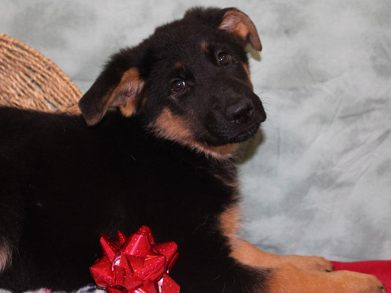 German Shepherd Dog-Female-Black / Tan-2541844-Petland Dalton