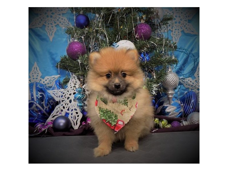 Pomeranian-Male-Orange Sable-2552872-Petland Dalton