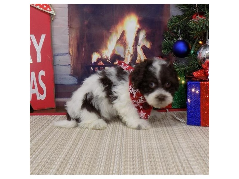 Havanese-Male-Chocolate-2552875-Petland Dalton