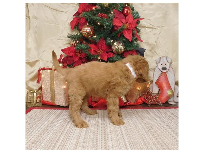 Goldendoodle Mini-Female-Red-2552877-Petland Dalton