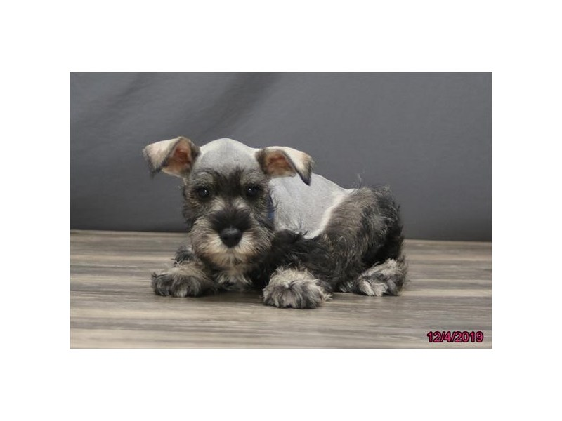 Miniature Schnauzer-Male-Salt / Pepper-2554448-Petland Dalton