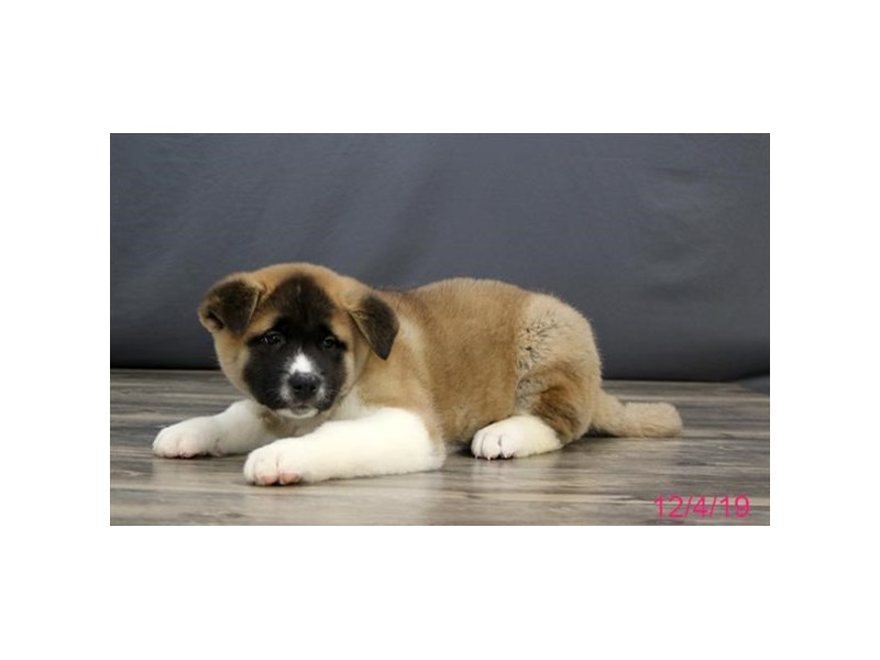 Akita-Male-Brown / White-2554510-Petland Dalton