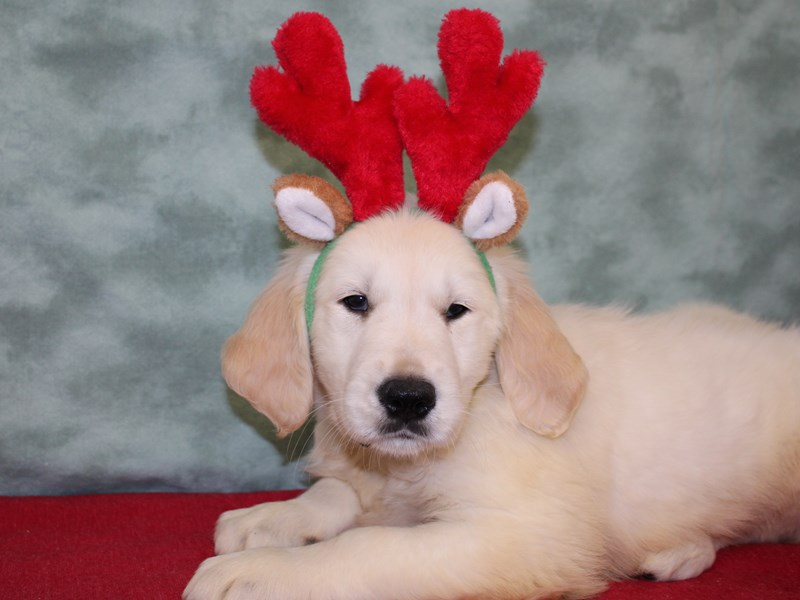 Golden Retriever-DOG-Male-Light Golden-2553577-Petland Dalton