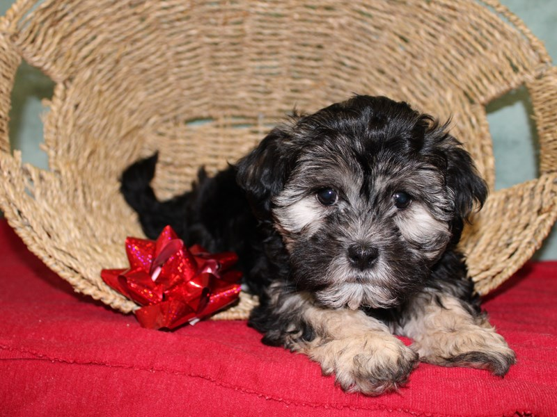 Morkie-DOG-Female-Blue / Tan-2552885-Petland Dalton