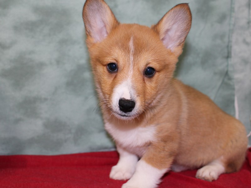 Pembroke Welsh Corgi-Male-Sable-2552883-Petland Dalton