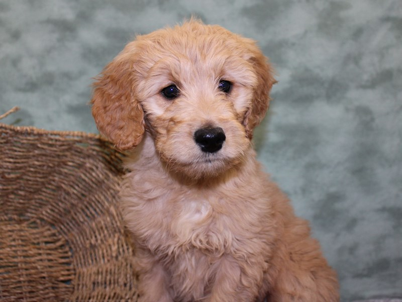 Goldendoodle-Female-Golden-2554026-Petland Dalton