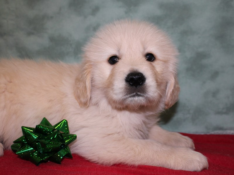 Golden Retriever-Male--2557468-Petland Dalton