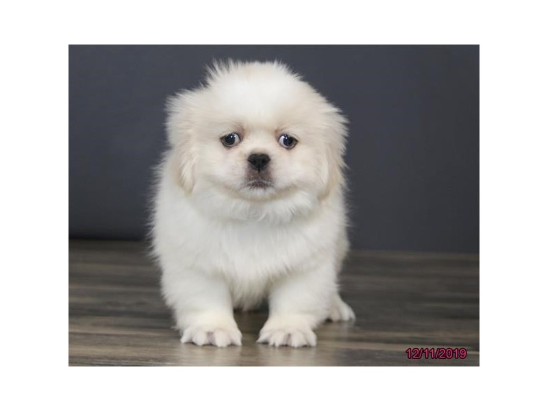 Pekingese-Male-Cream / White-2559775-Petland Dalton