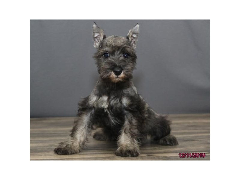 Miniature Schnauzer-Male-Salt / Pepper-2559778-Petland Dalton