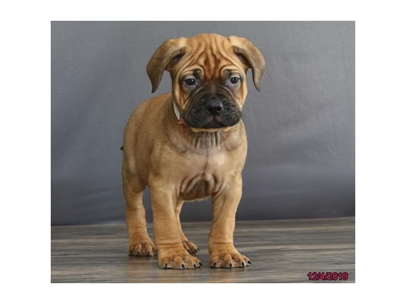 Bullmastiff-DOG-Male-Red Fawn-2559985-Petland Dalton