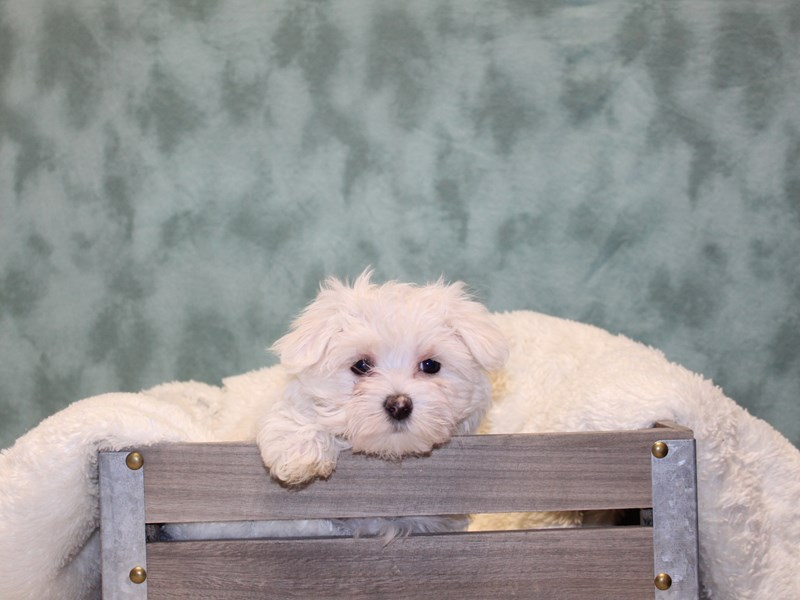 Maltese-Female-WHITE-2553780-Petland Dalton