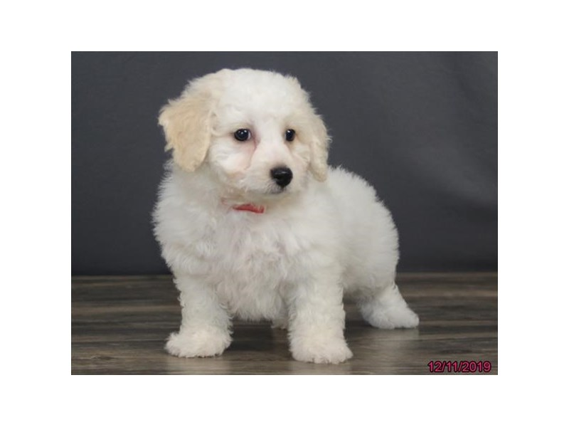 Bichon Frise-DOG-Male-White-2560122-Petland Dalton
