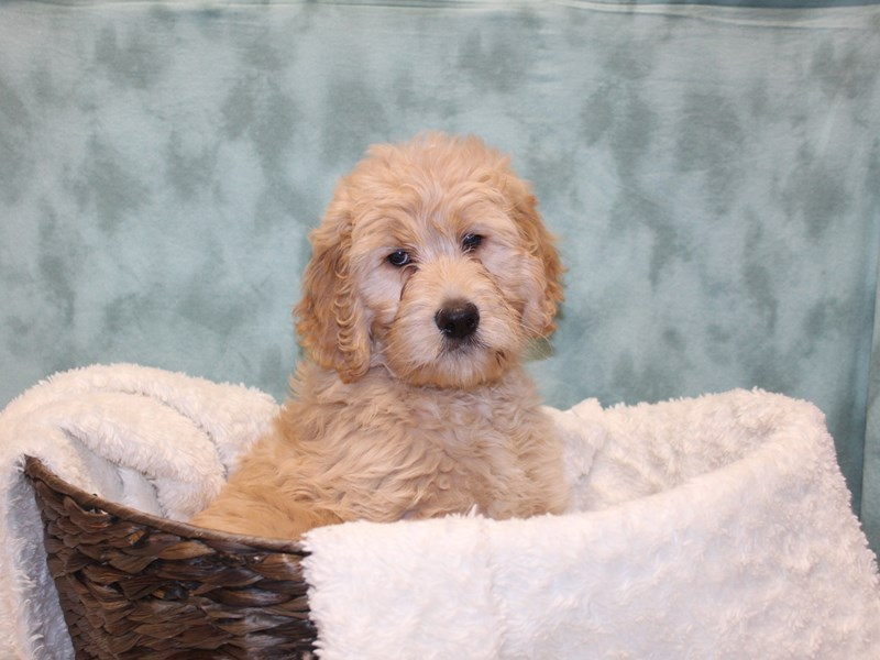 Goldendoodle-Female-Golden-2561151-Petland Dalton