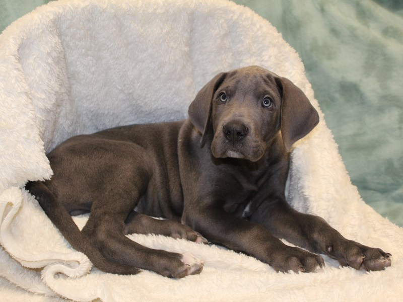 Great Dane-Male-Gray-2560893-Petland Dalton
