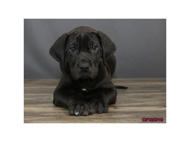 Great Dane-Male-Black-2567827-Petland Dalton