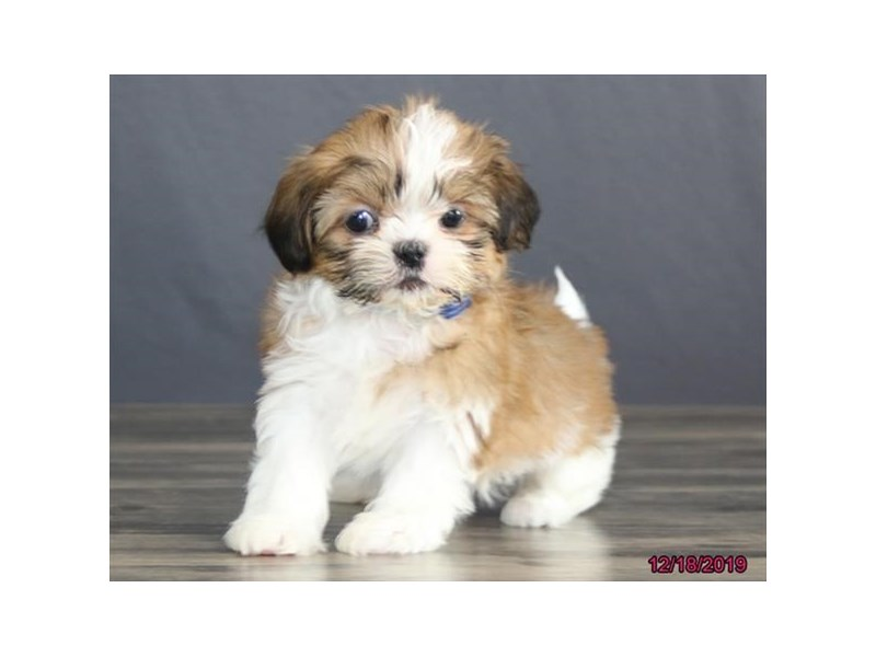 Shih Tzu-Female-Red / White-2567828-Petland Dalton