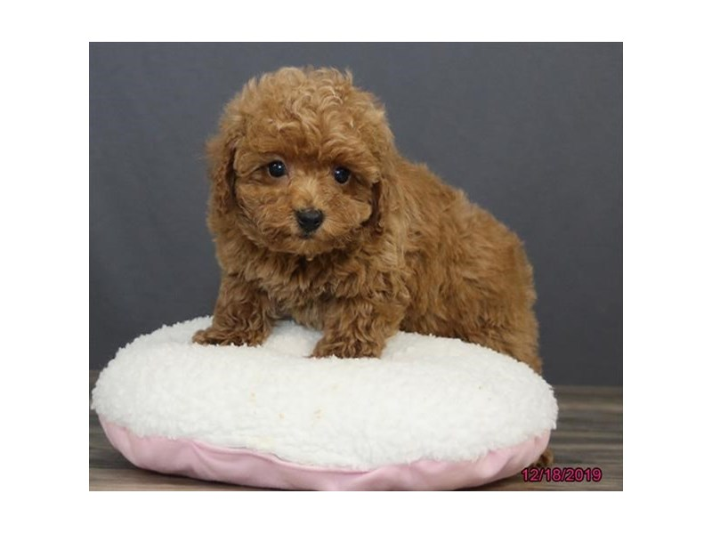 Poodle-DOG-Female-Red-2567829-Petland Dalton