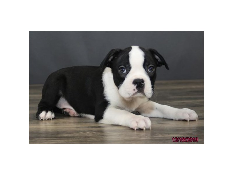 Boston Terrier-Male-Black / White-2567835-Petland Dalton