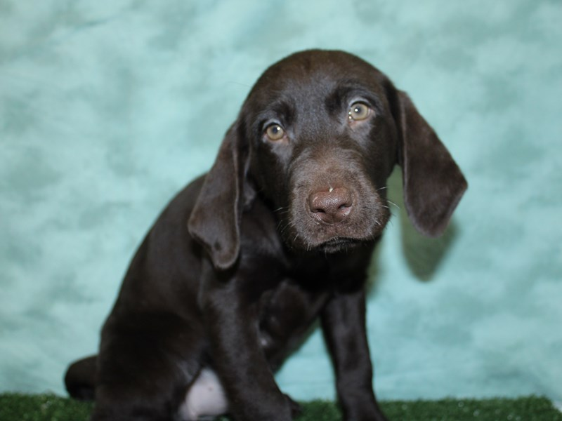 Labrador Retriever-DOG-Female-Chocolate-2566840-Petland Dalton